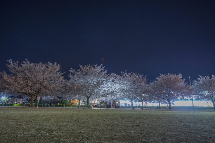 来た中央公園の夜桜5
