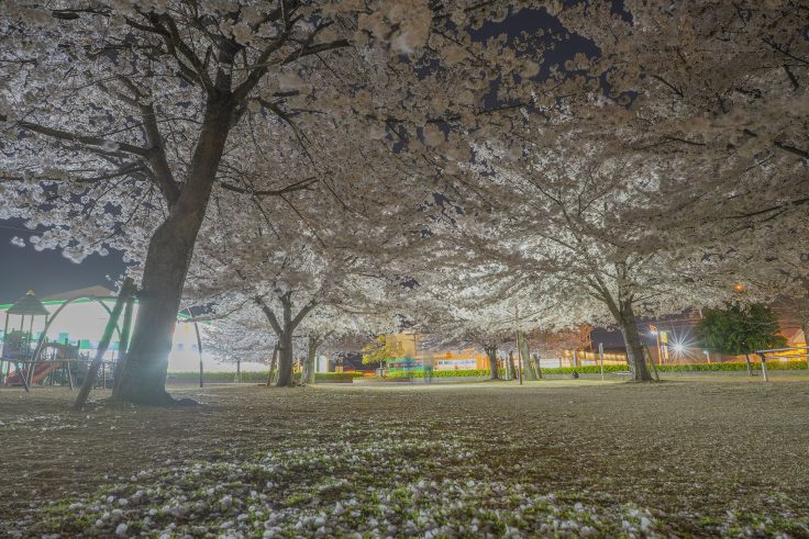 来た中央公園の夜桜6
