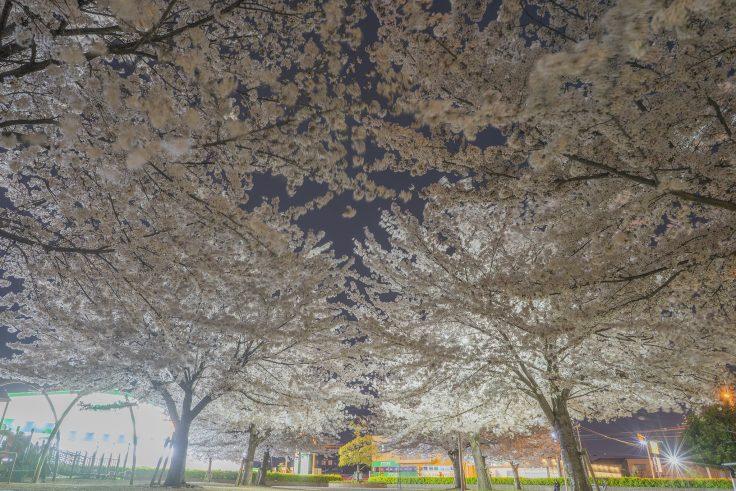 来た中央公園の夜桜7