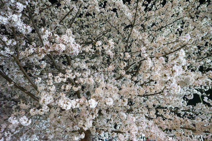 来た中央公園の夜桜8