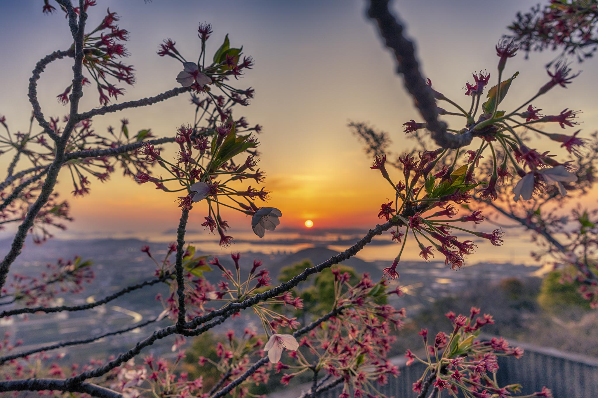 桜散る白峰展望台から見る夕焼け