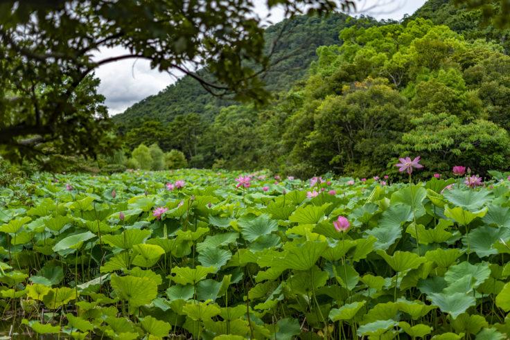 芙蓉沼の蓮を永代橋から撮影