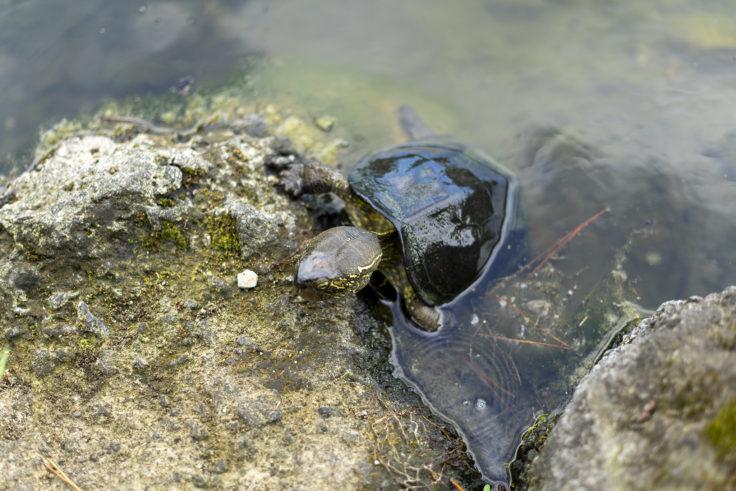 栗林公園の亀が上陸