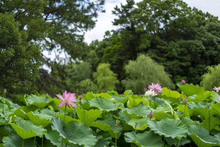 栗林公園のピンクの蓮