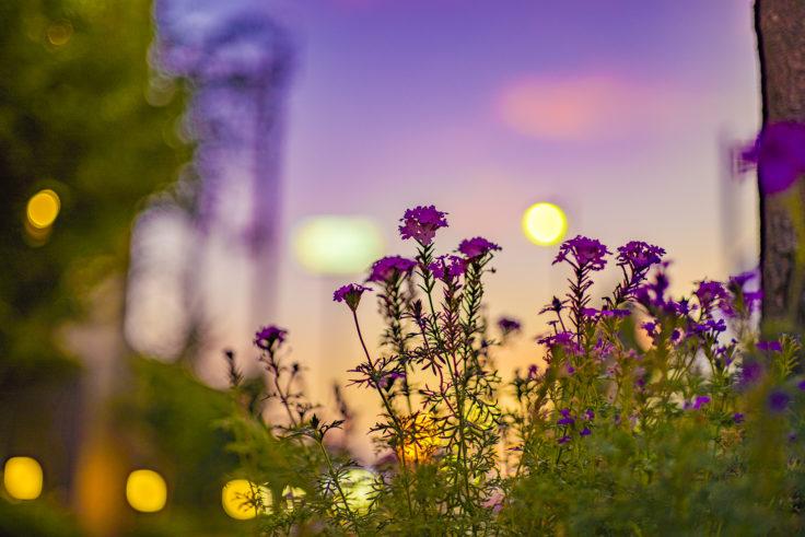 夕暮れの花