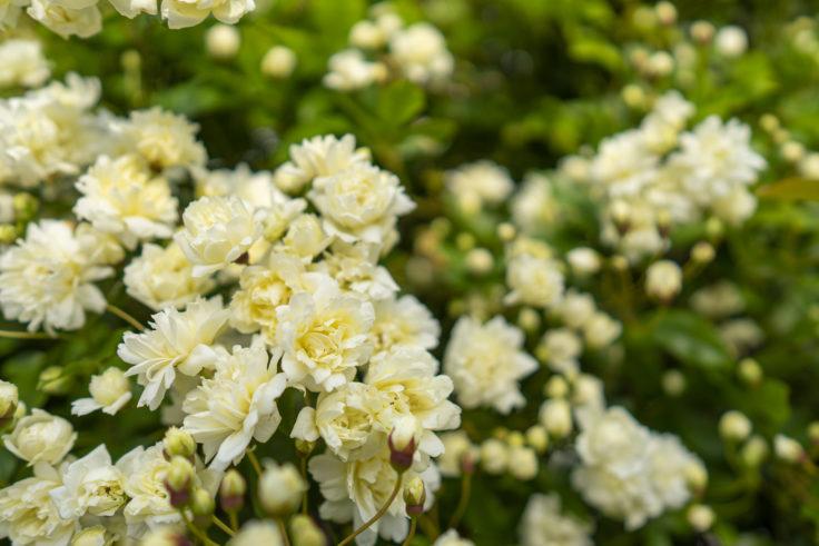 白いモッコウバラ