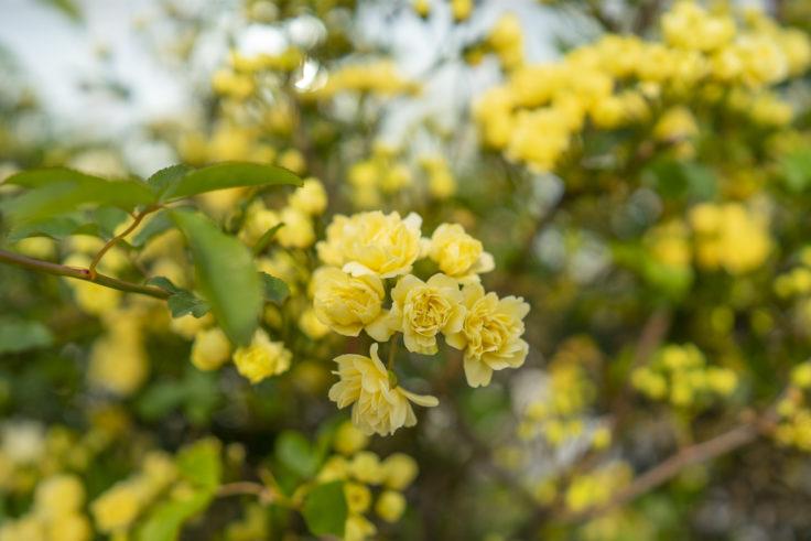 黄色のモッコウバラ