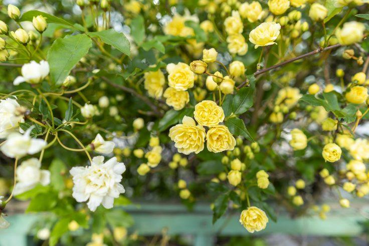 白と黄色のモッコウバラ