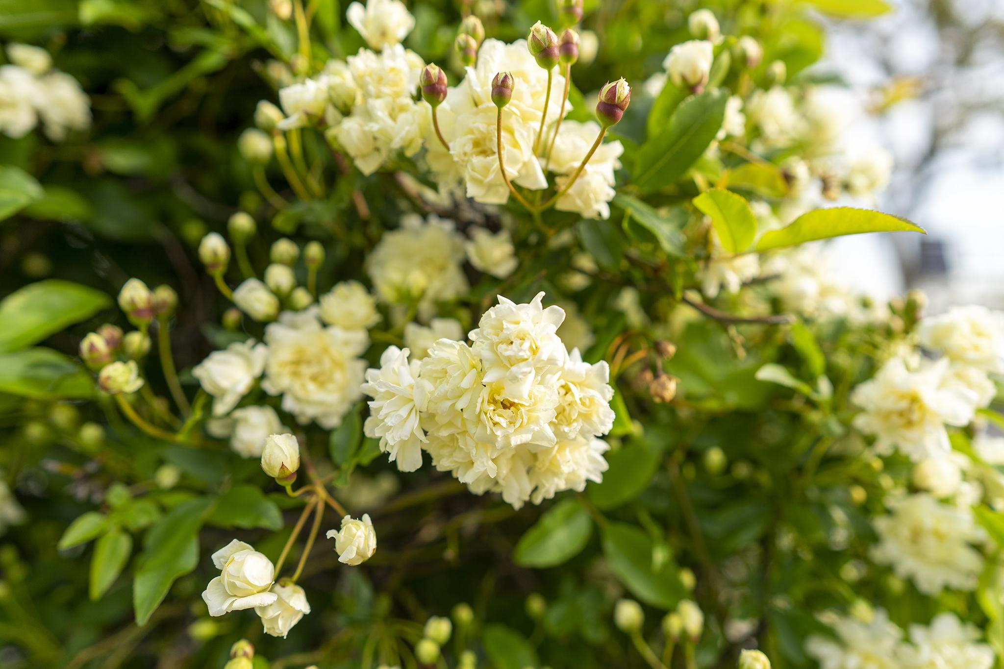 トゲのないバラ「モッコウバラ」が美しく咲く。