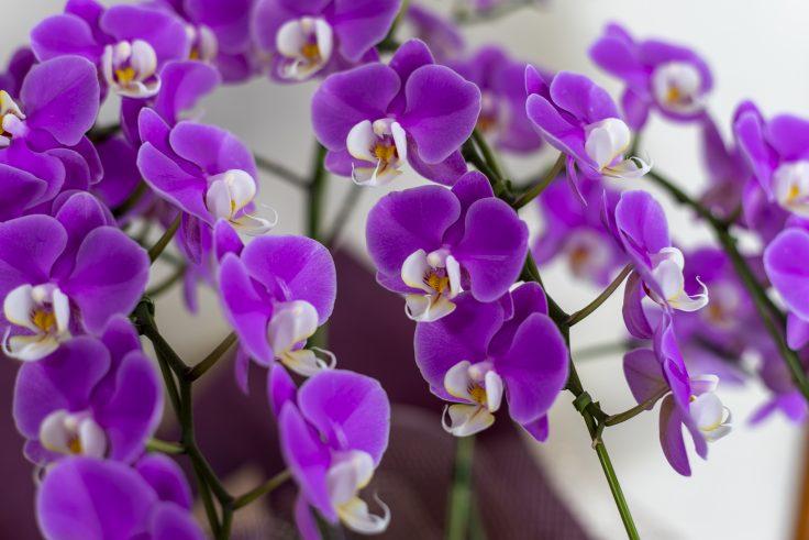 紫のコチョウラン