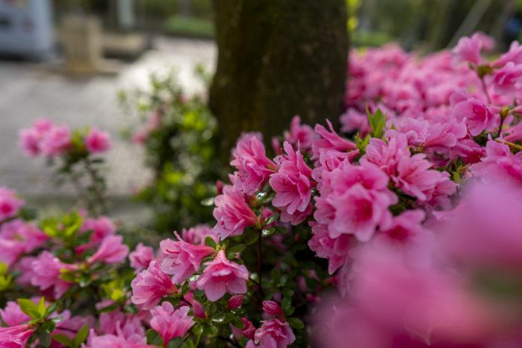 咲き誇るサツキ2