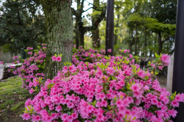 咲き誇るサツキ