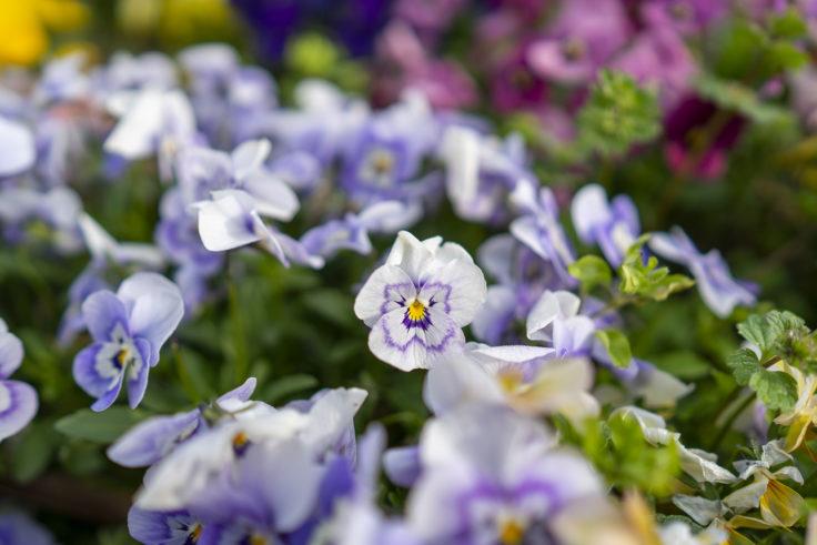 薄紫ビオラ2