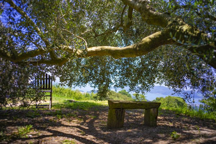 牛窓のオリーブの木の下