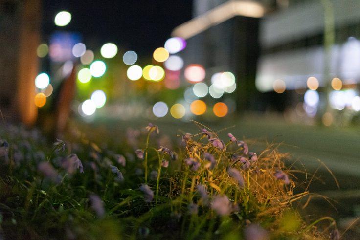 夜のハナニラ