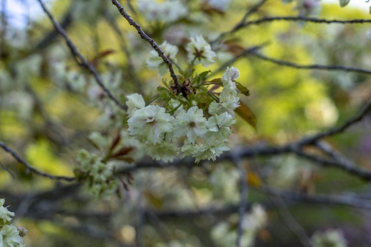 ウコンザクラ(鬱金桜)3
