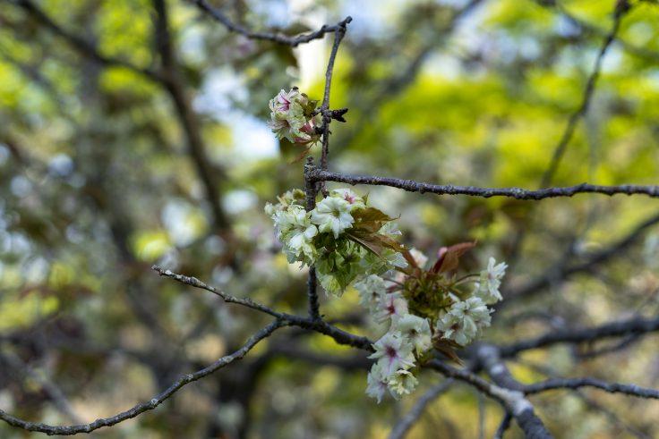ウコンザクラ(鬱金桜)2