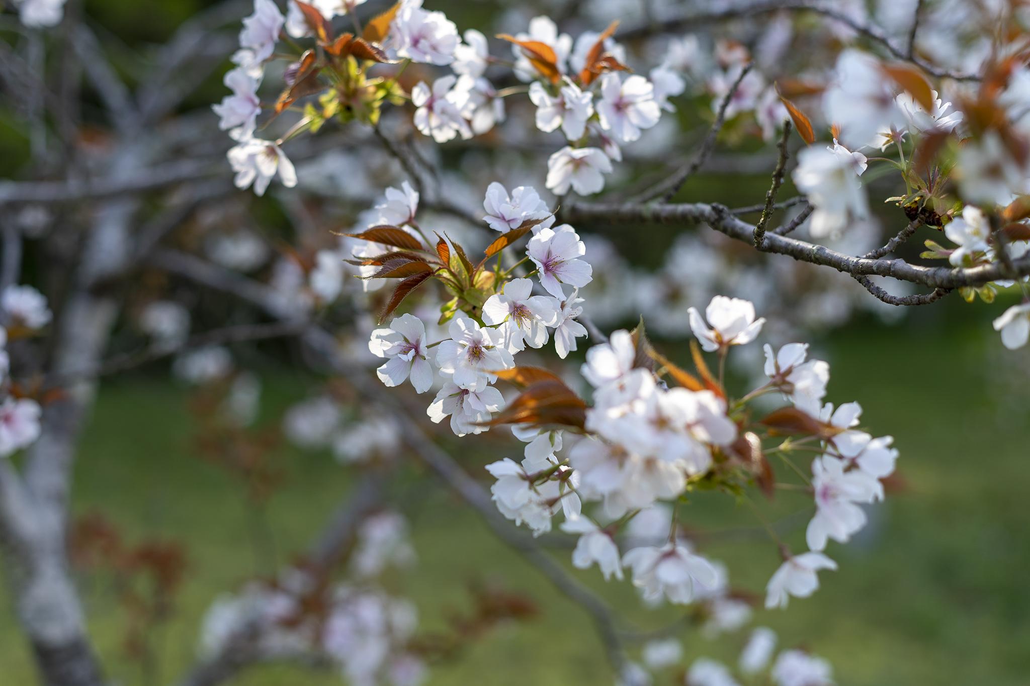「ツインパルながお」は桜の博物館!桜シーズンが終わってもまだ花見は終わらない。