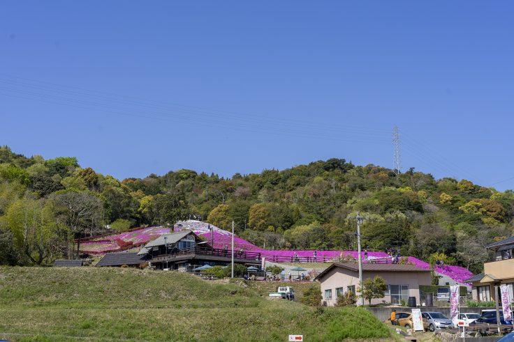 芝桜富士を駐車場から見上げる