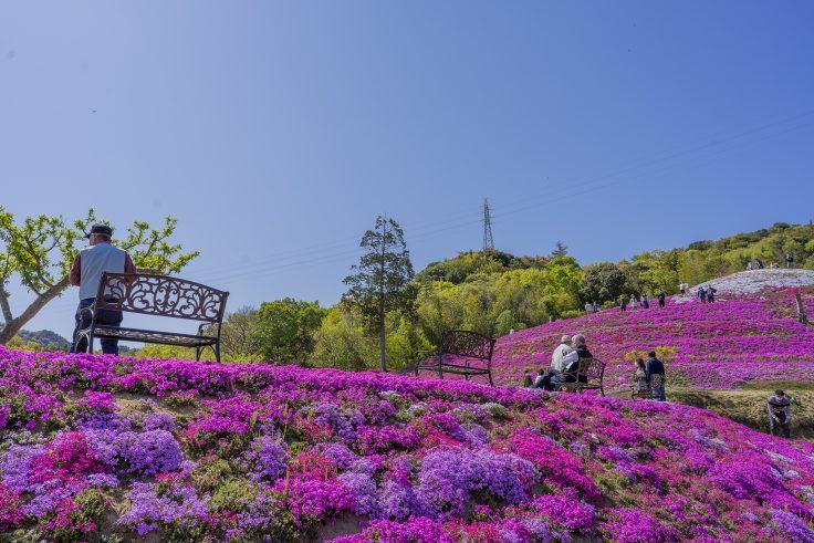 芝桜富士を見上げる2