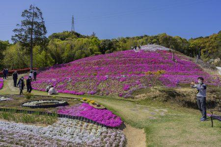 芝桜富士全景