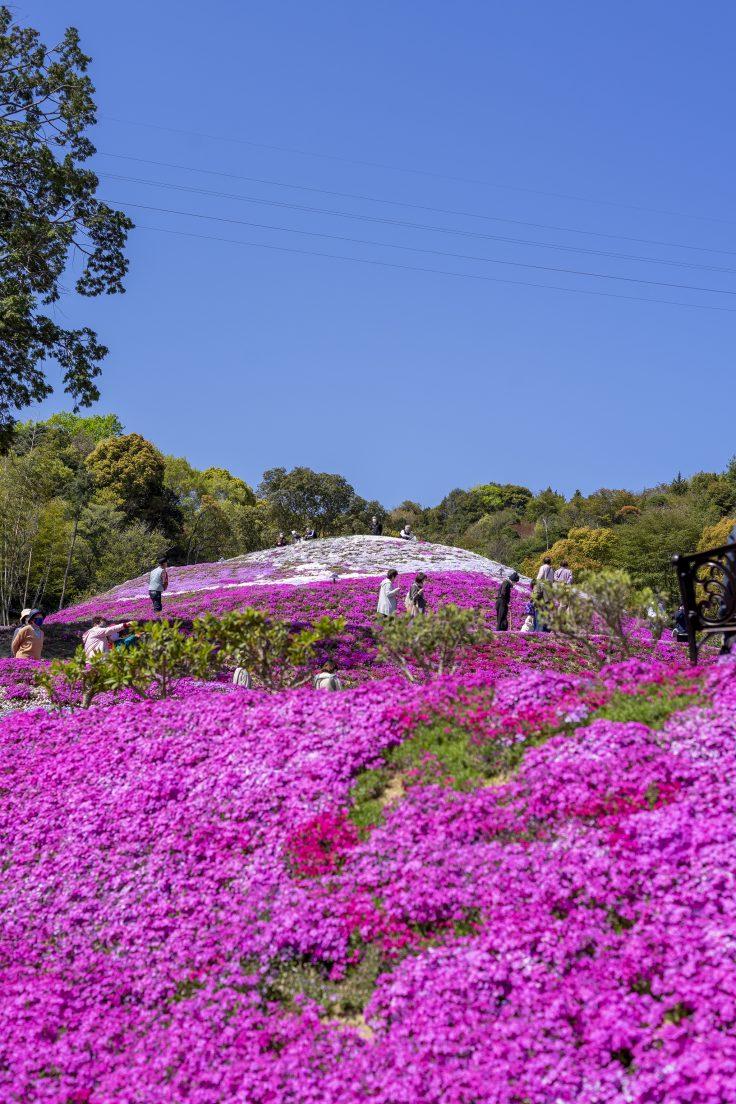 芝桜富士頂上を見上げる