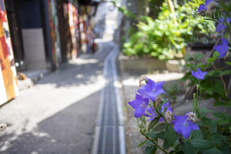 男木島の桔梗