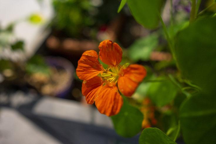 橙色のキンレンカ