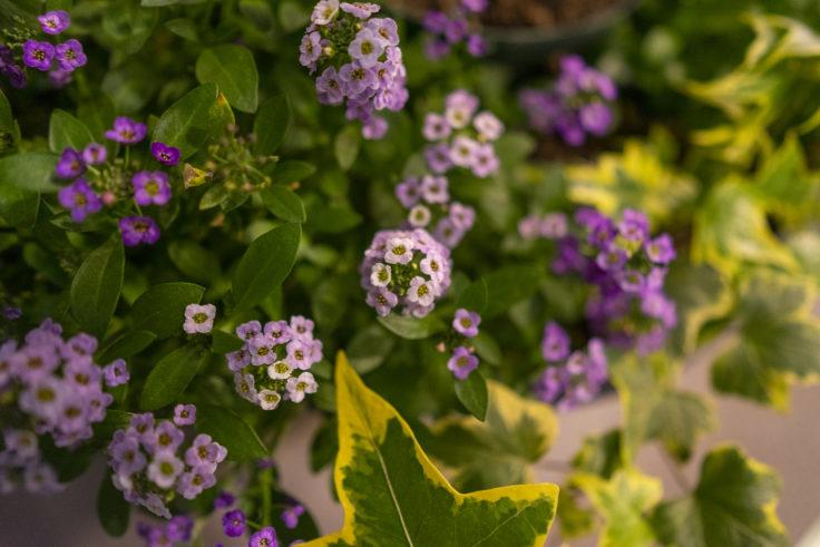 紫のアリッサム2