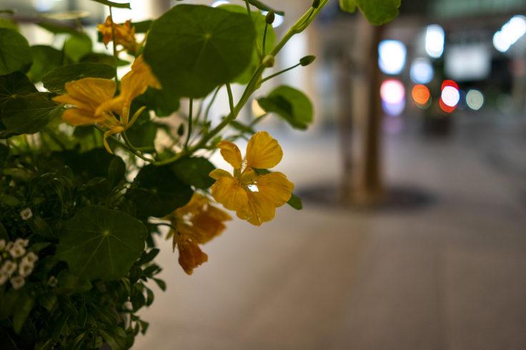 黄色のキンレンカ2