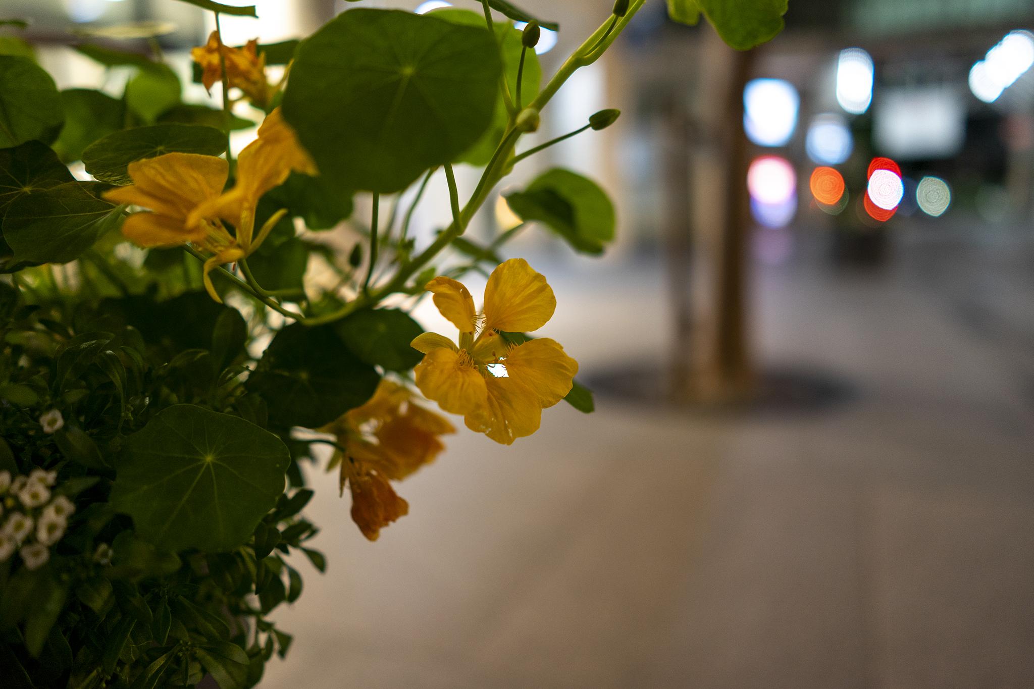 夜に咲くキンレンカ(ナスタチウム)