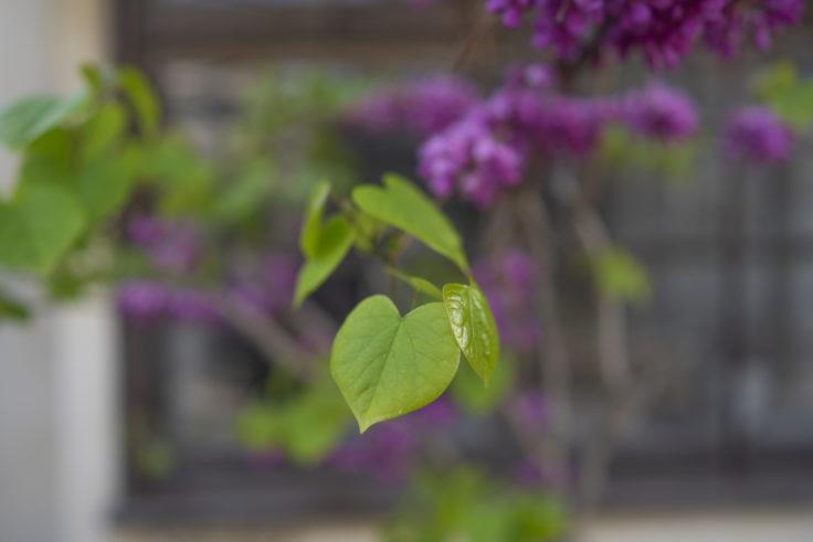 ハナズオウの葉っぱ