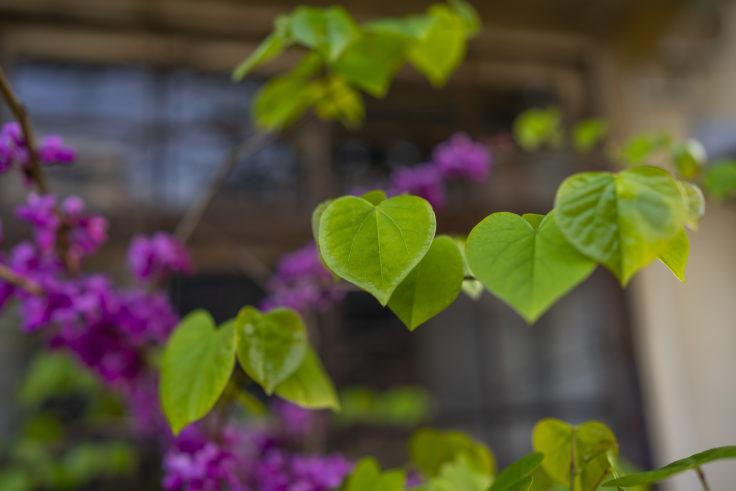 ハナズオウの葉っぱ2