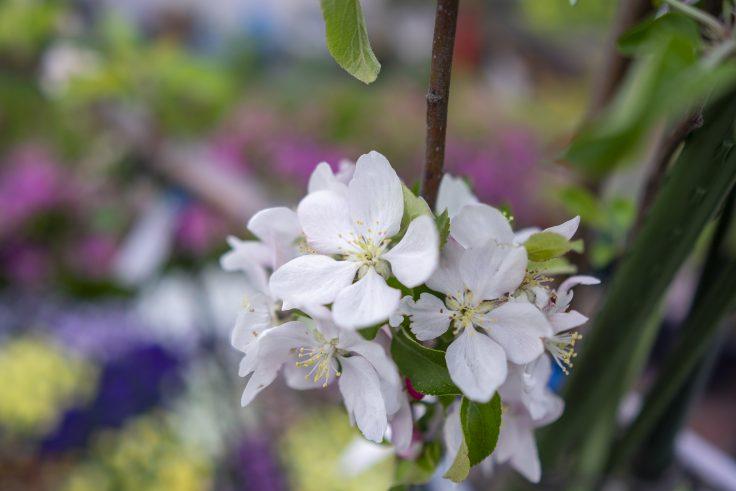 番の州公園のリンゴの花
