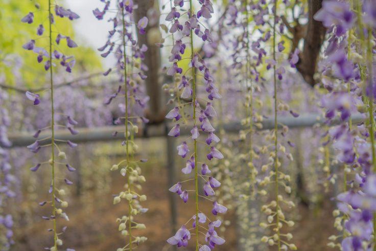 岩田神社の孔雀藤のツボミ
