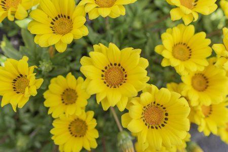 黄色のガザニア