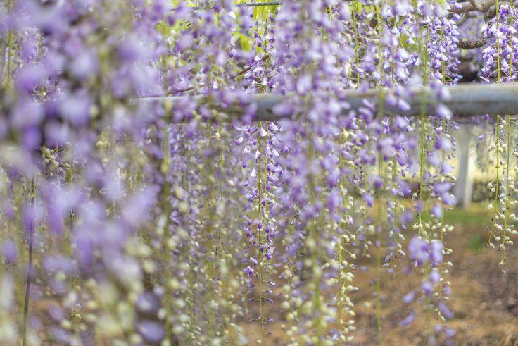 岩田神社の孔雀藤のツボミ2