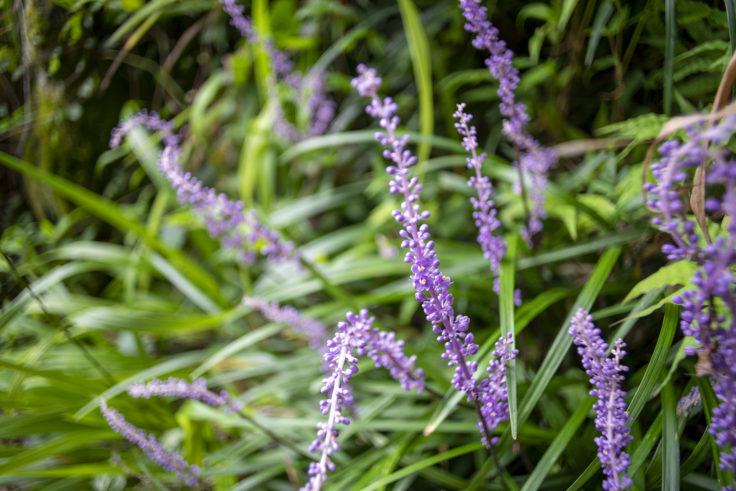 女木島の紫の花