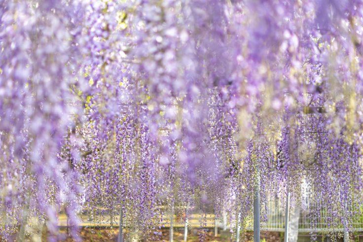 岩田神社の孔雀藤2021の2