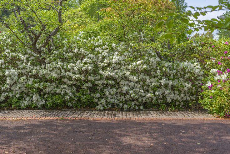 仏生山公園の白いツツジ