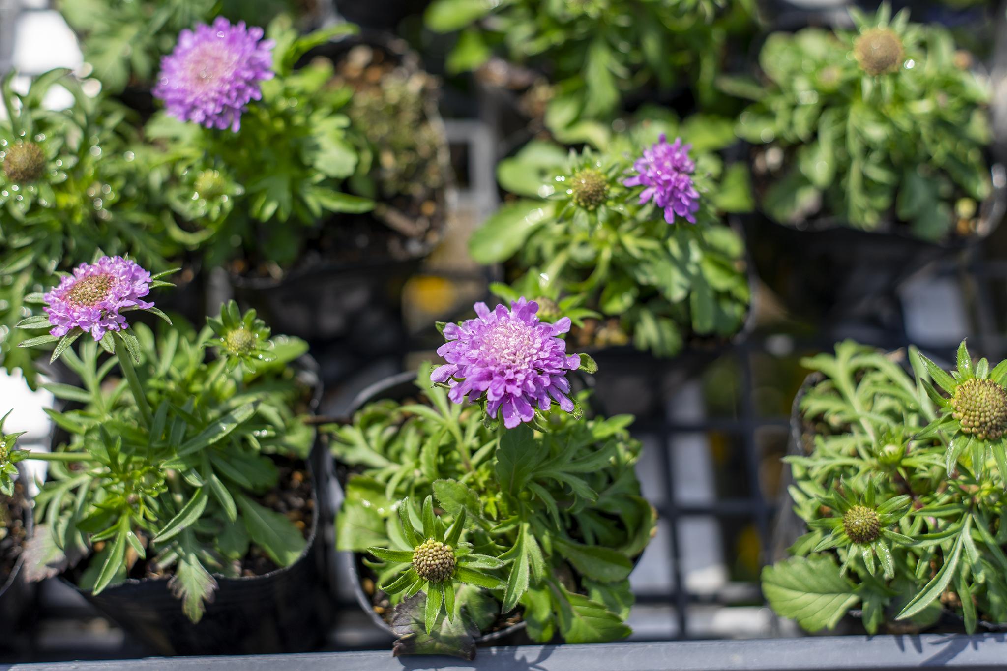 スカビオサの花言葉と誕生花