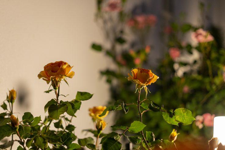 夜のバラ5
