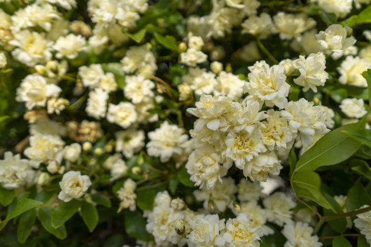 白いモッコウバラ5