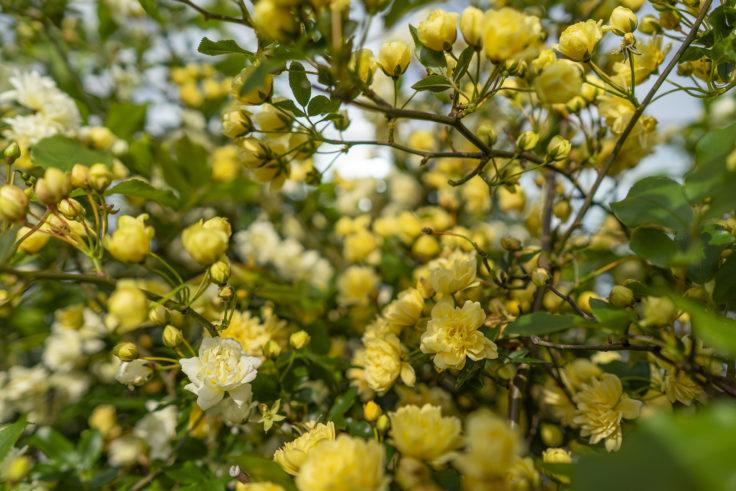 黄色いモッコウバラ5