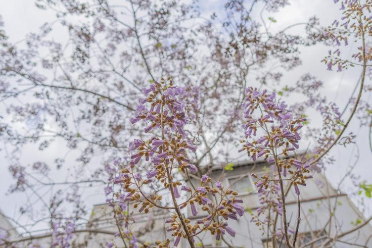 キリの花2
