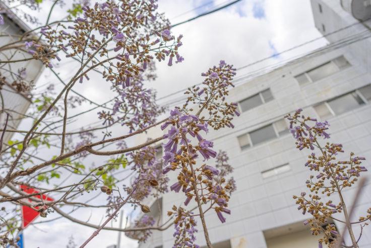 キリの花4
