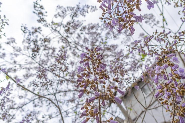 キリの花5