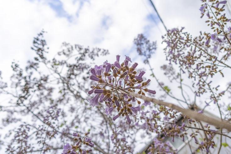 キリの花6