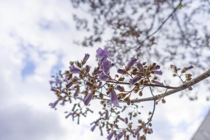 キリの花7