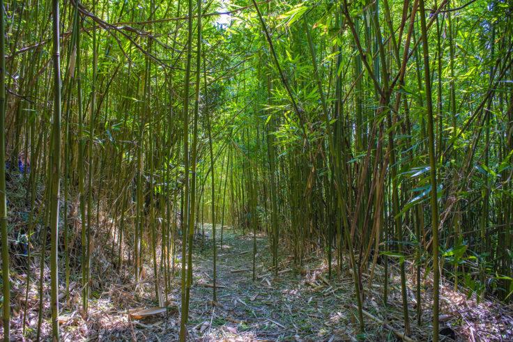 大島美しい竹林